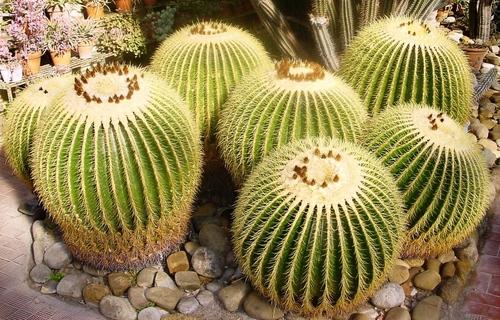 Виды кактусов: как называются домашние кактусы?