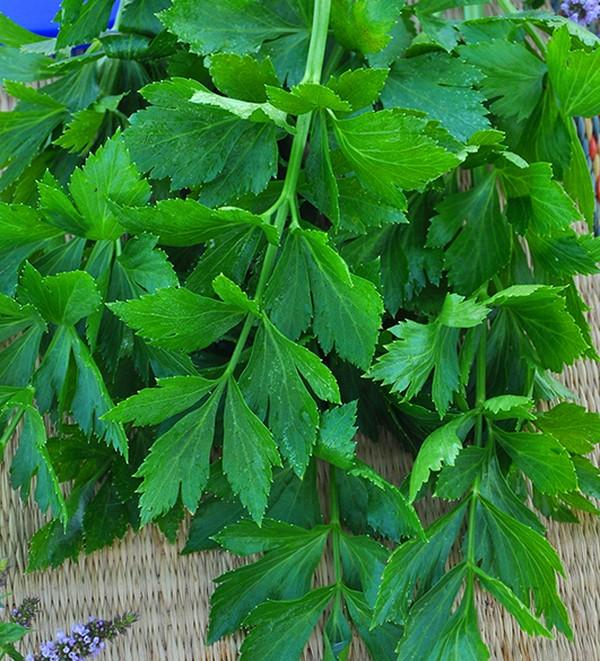 Сельдерей: выращивание и самые интересные сорта для открытого грунта и теплицы