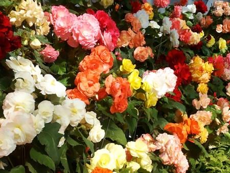 Комнатный цветок бегония: уход в домашних условиях