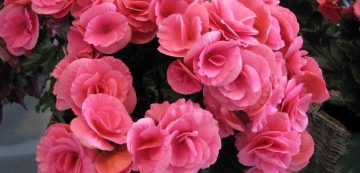 цветы бегонии