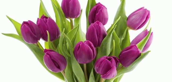 Тюльпан домашний цветок
