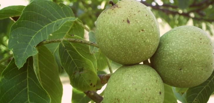 Посадка грецкого ореха — как правильно посадить грецкий орех в средней полосе России?
