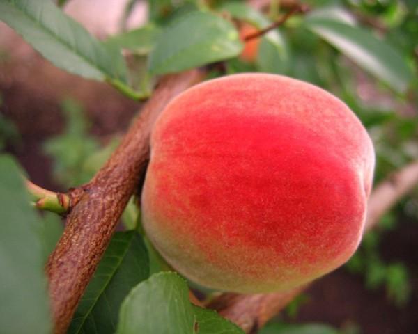 Ликбез по сортам персиков. Для средней полосы России, Подмосковья, Крыма, Кубани