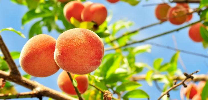 Правила выбора сорта персика и нектарина для Подмосковья