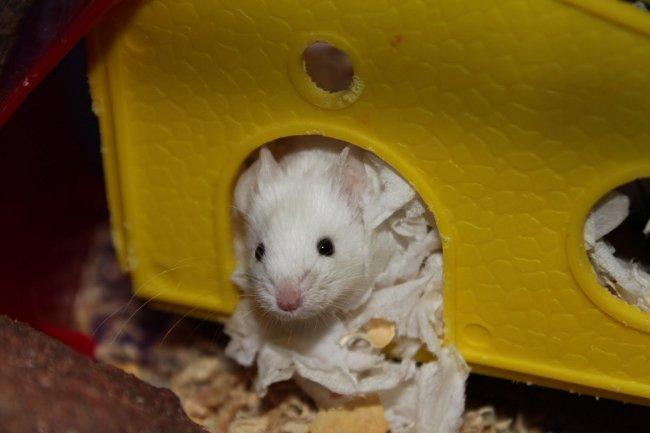 Декоративные мыши: содержание и уход